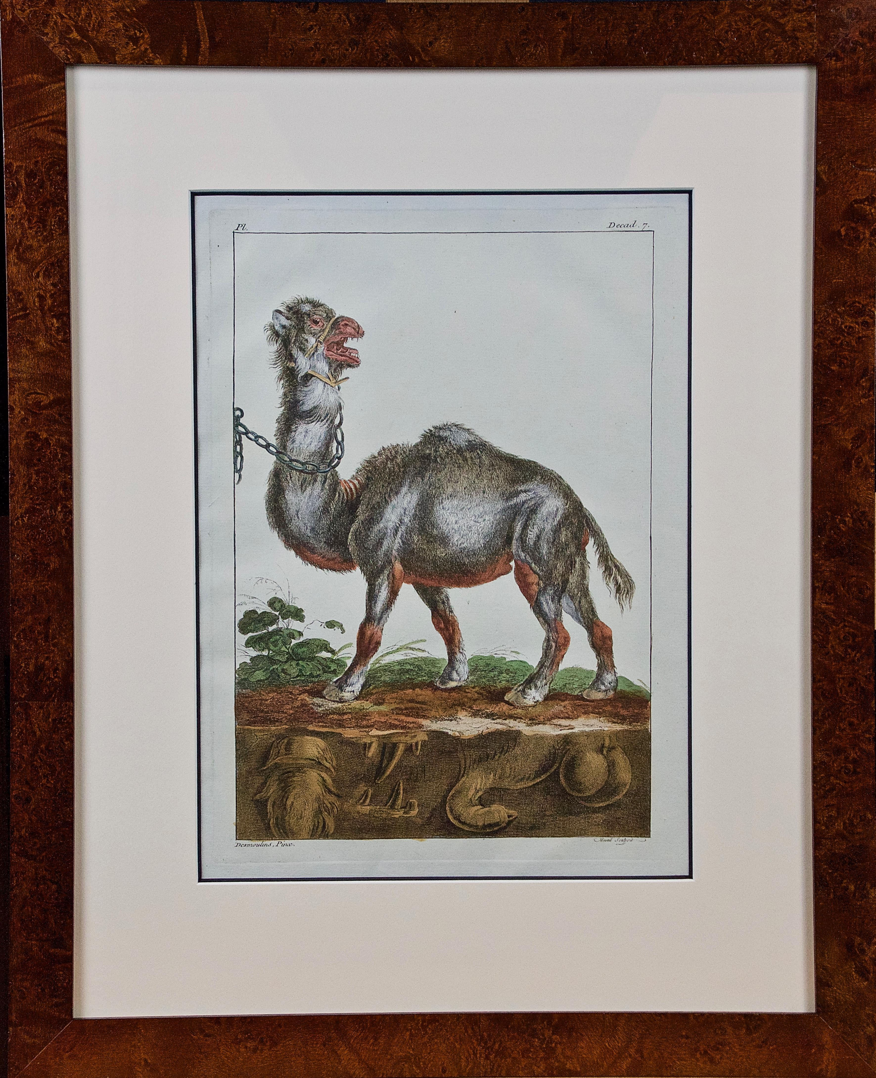 """18th Century Hand Colored Engraving of a Camel from Pennant's """" British Zoology"""""""