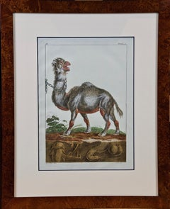 "18th Century Hand Colored Engraving of a Camel from Pennant's "" British Zoology"""