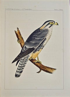 """""""Alpomado Falcon"""" Hand Colored Lithograph from the USPRR Exploration & Survey"""