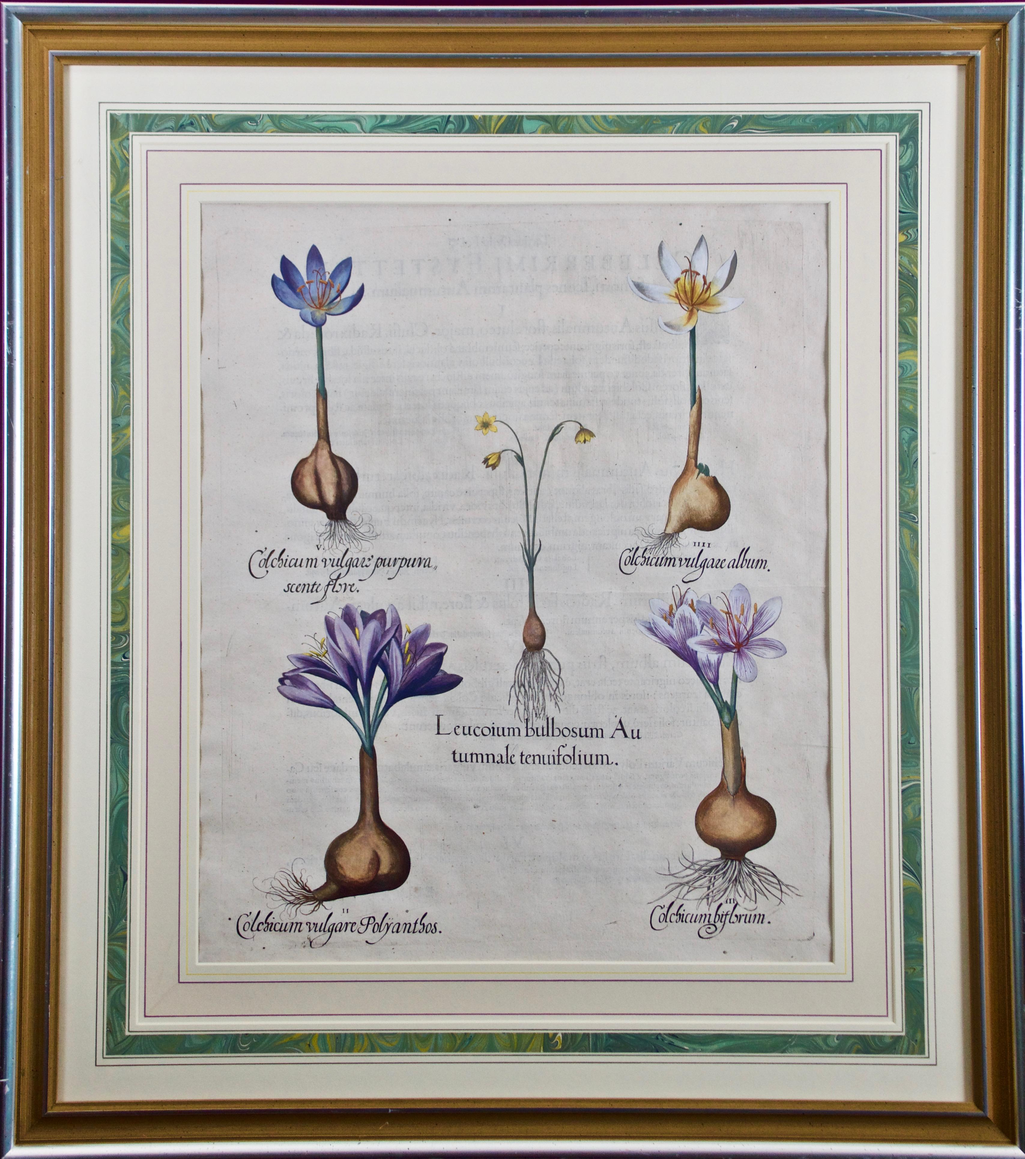 Besler 17th C Botanical Engraving of Autumn Snowflake and Meadow Saffron Flowers