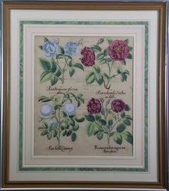 Early 17th Century Besler Botanical Engraving of Roses