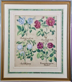 """""""Rosa ex rubro"""" (Red Roses), 17th C. Besler Hand Colored Botanical Engraving"""