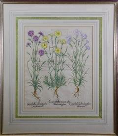 Besler Botanical Engraving of Wood Pink & Cottage Pink Flowers