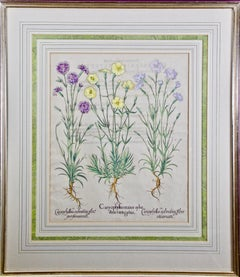 Besler Hand Colored Botanical Engraving of Wood Pink & Cottage Pink Flowers