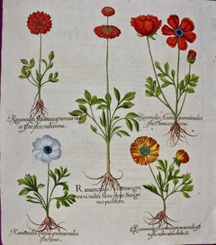 Besler 18th Century Hand-colored Botanical Engraving of Buttercup Flowers