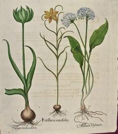 Besler Hand-colored Botanical Engraving of Flowering Tulip & Wild Garlic Plants
