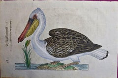 A 16th/17th Century Hand-colored Engraving of a Pelican Bird by Aldrovandi