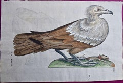 A 16th/17th Century Hand-colored Engraving of a Bird of Prey by Aldrovandi