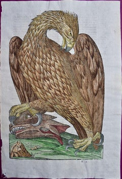 A 16th/17th Century Hand-colored Engraving of an Eagle by Aldrovandi
