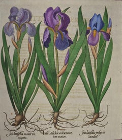 Early 18th C. Besler Hand-colored Botanical Engraving of Flowering Iris Plants