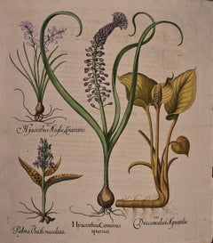 Besler Hand-colored Botanical Engraving of Flowering Hyacinth & Calla Plants
