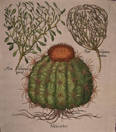 Besler Hand-colored Botanical Engraving of Cactus & Rose of Jericho Plants