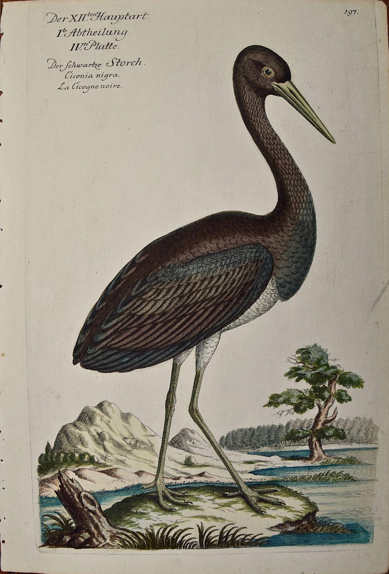 """An 18th Century Hand-colored Frisch Engraving """"Ciconia Nigra"""" or Black Stork"""