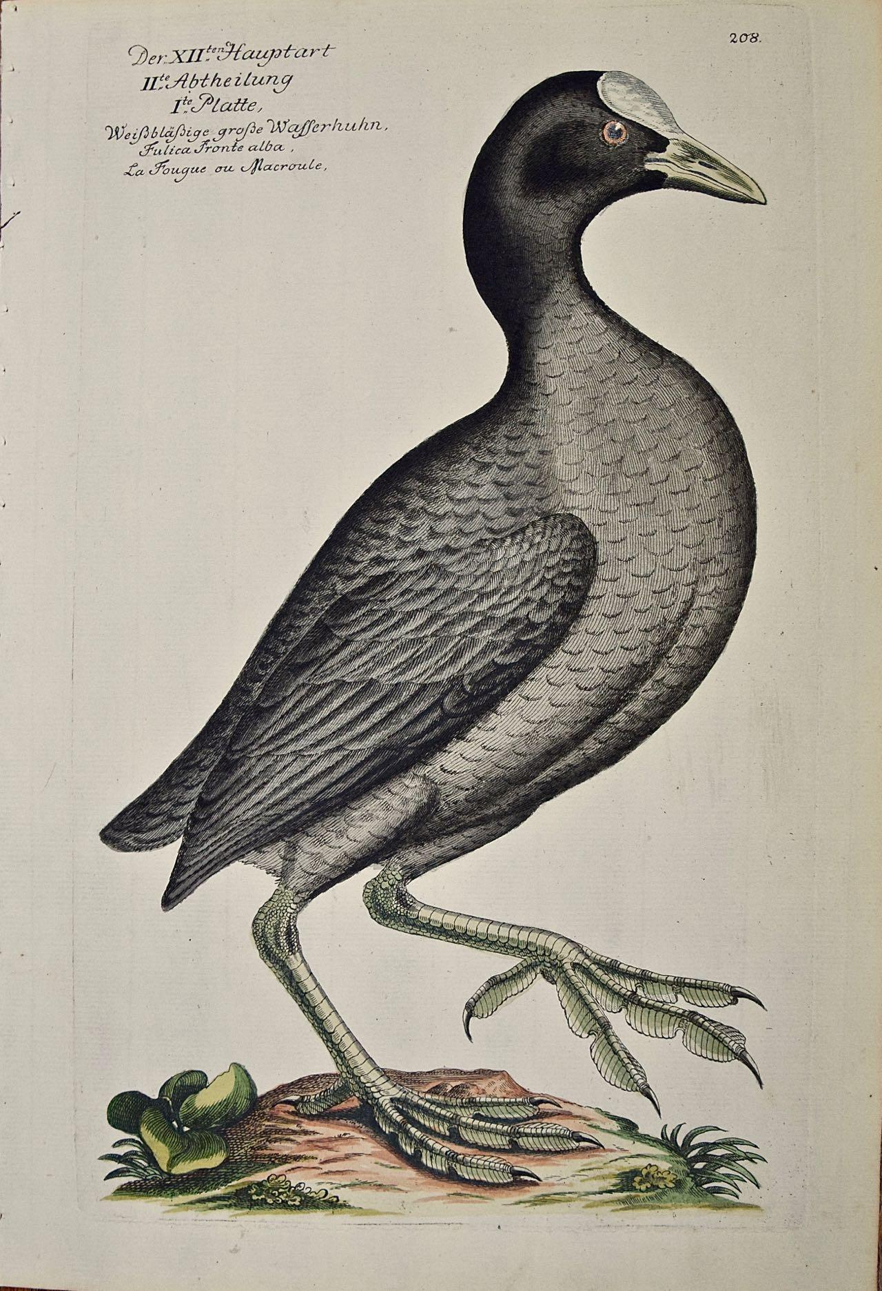 "An 18th Century Hand-colored Frisch Engraving ""Wasserhuhn"" or Coot Bird"