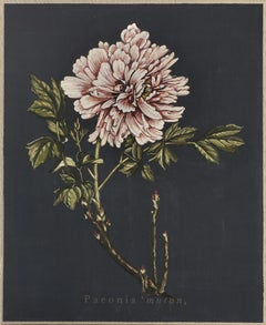 Paeonia muntan (fond bleu)