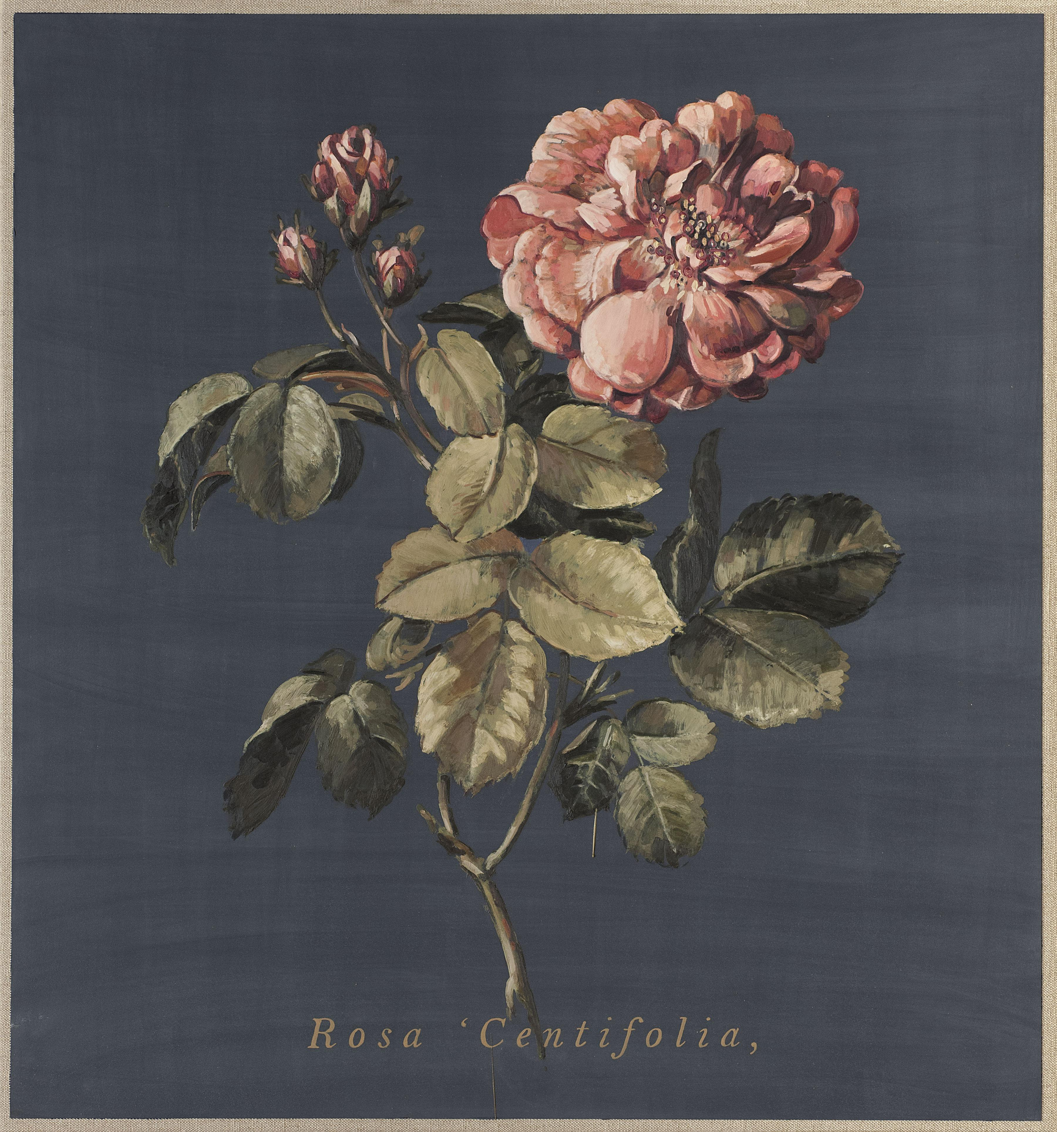 Rosa Centifolia (1ère interpretation)