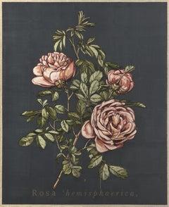 Rosa hemisphaerica