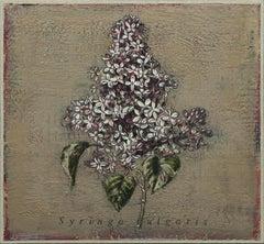 Syringa vulgaris no. 1