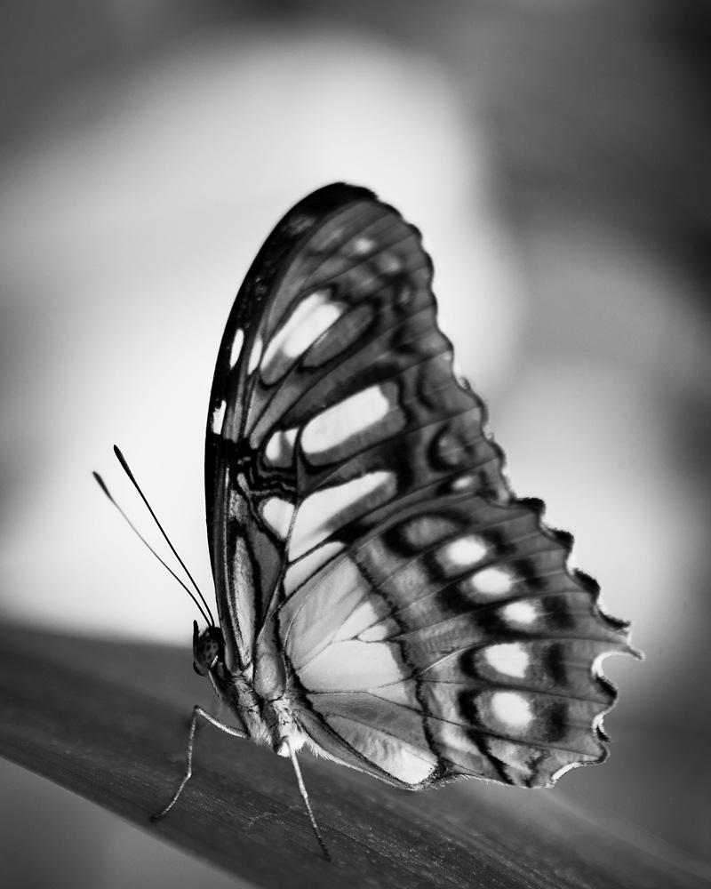 Self portrait as a butterfly no 2 photography black and white signed framed