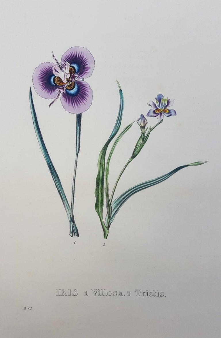 Iris - Print by Pierre Corneille Van Geel