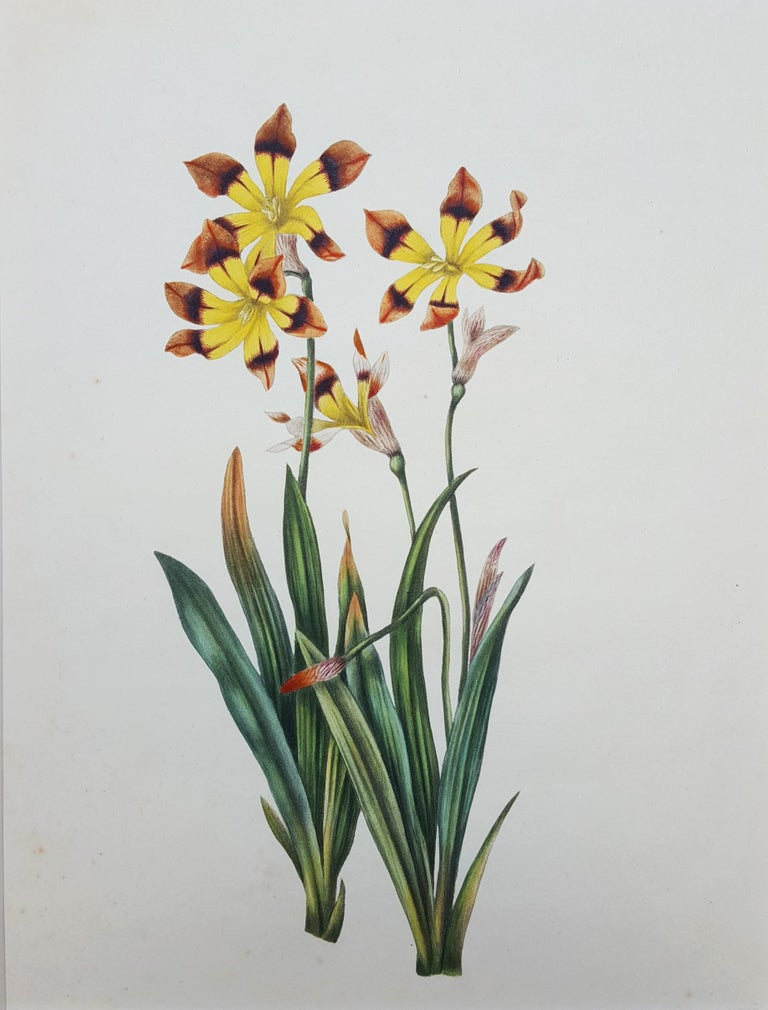 """An original hand-colored aquatint engraving on J. Whatman wove paper by English artist Miss Smith (Active: Early 19th Century) titled """"Ixia"""", c. 1820. Limited edition unknown, presumed small. """"Turkey Mills J. Whatman 1818"""" watermark center right in"""