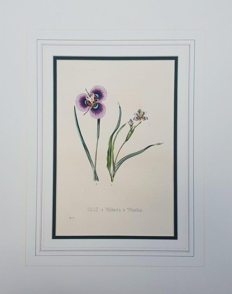 Iris - Victorian Print by Pierre Corneille Van Geel