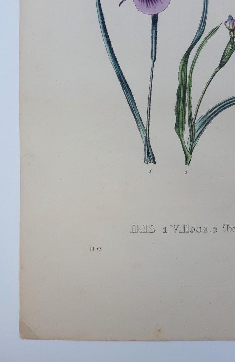 Iris For Sale 1