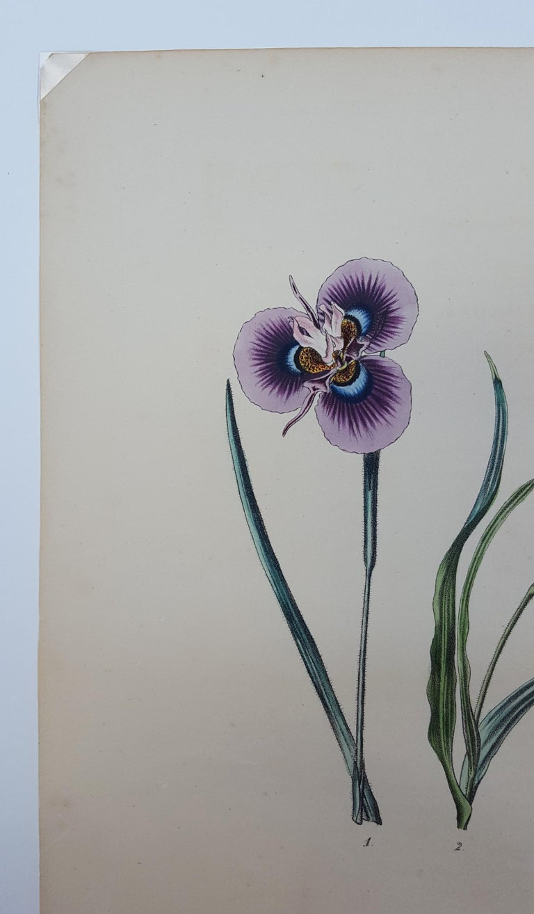 Iris For Sale 2