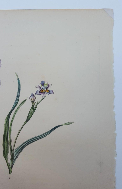 Iris For Sale 3