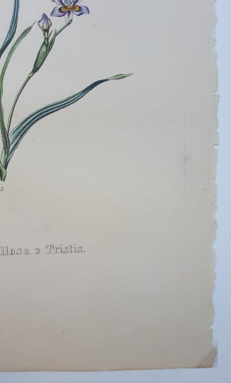 Iris For Sale 4