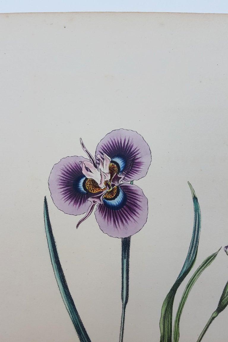 Iris For Sale 5