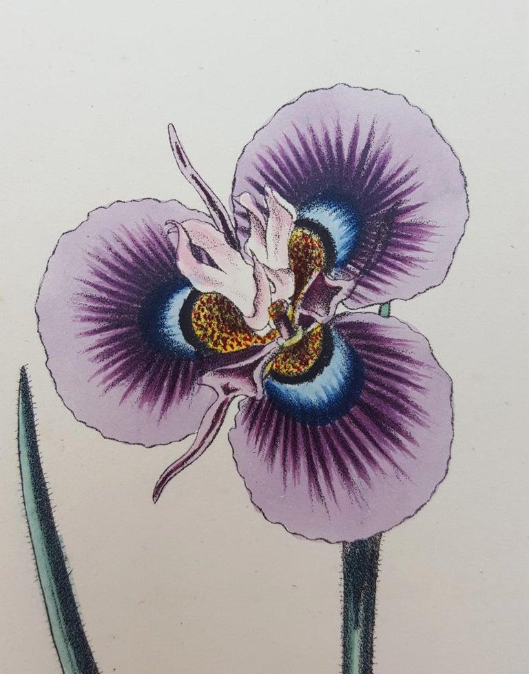 Iris For Sale 6