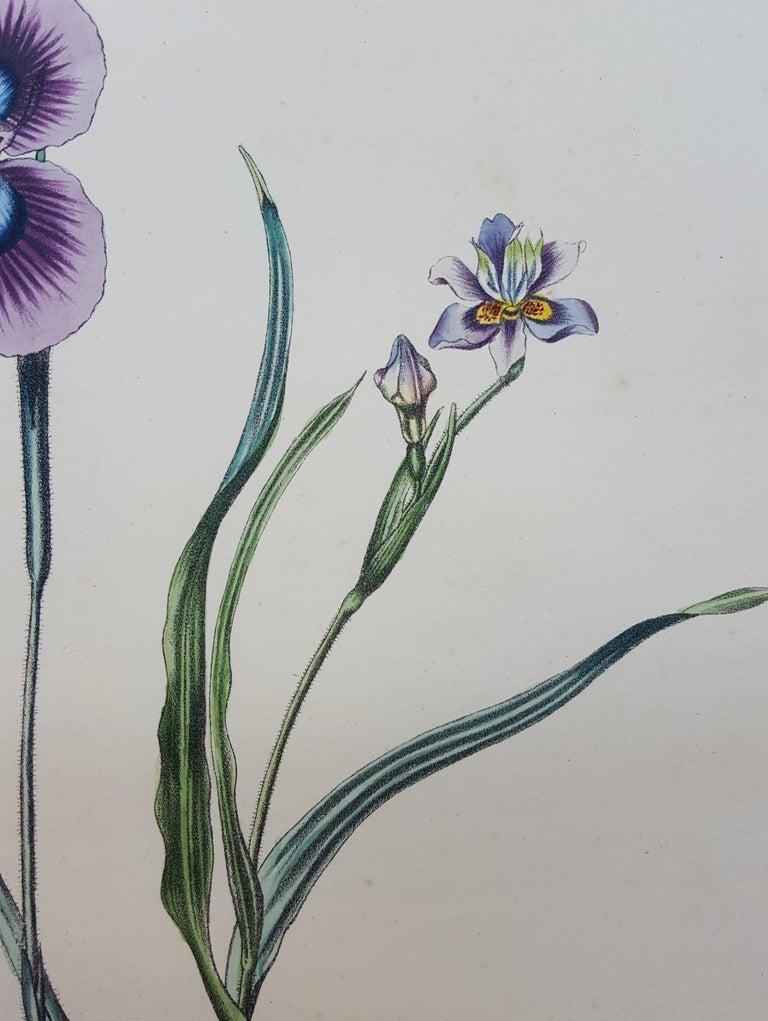 Iris For Sale 7