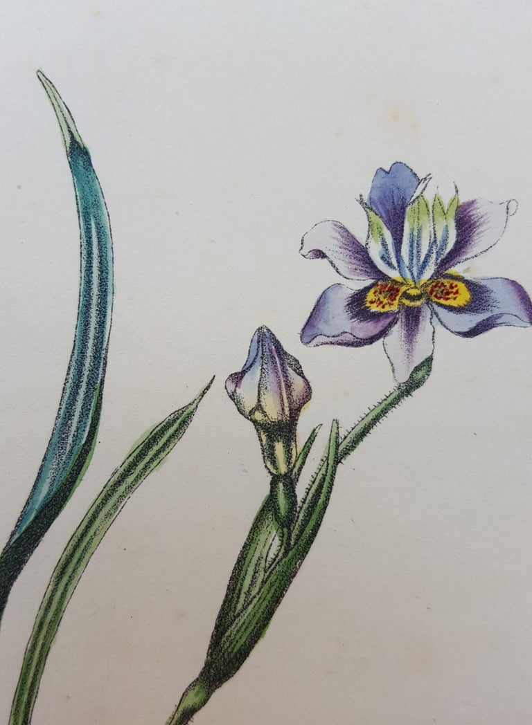 Iris For Sale 8