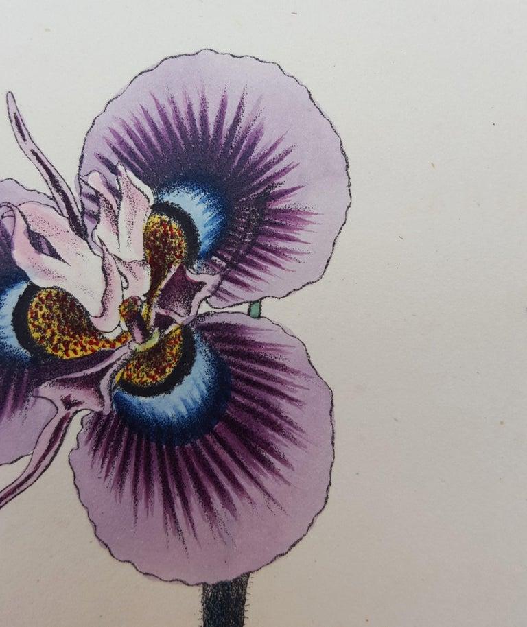 Iris For Sale 11