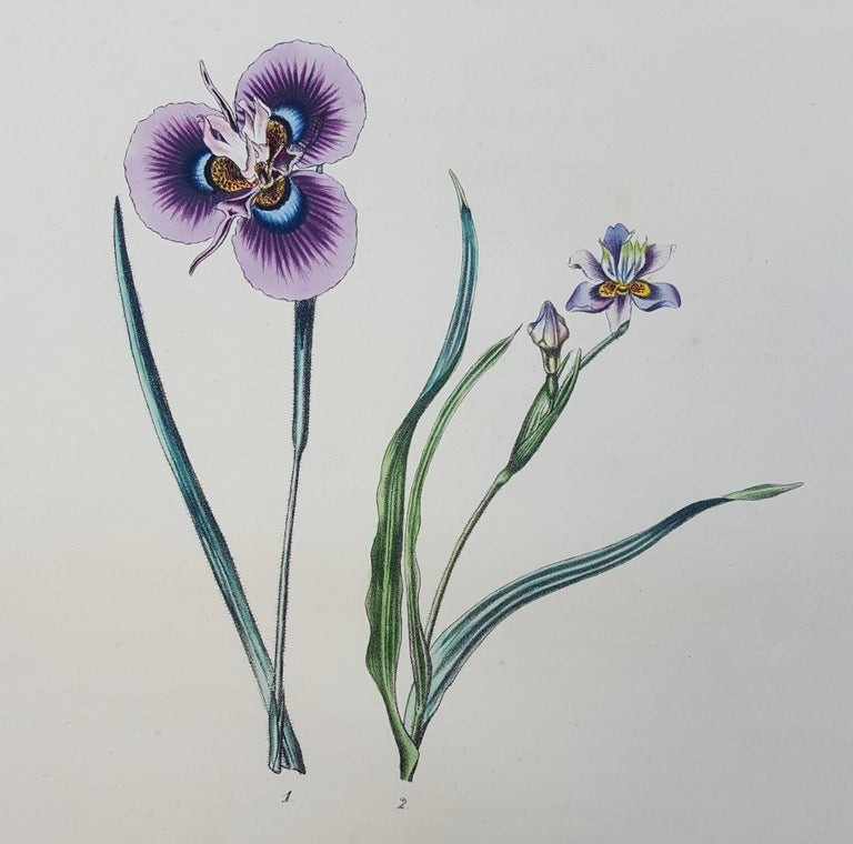 "An original hand-colored lithograph on wove paper by Flemish artist Pierre Corneille Van Geel (1796-1838) titled ""Iris"", 1828. Limited edition: unknown, presumed small. Comes from Geel's famous ""Sertum Botanicum"" 1828-1832, first edition, a"