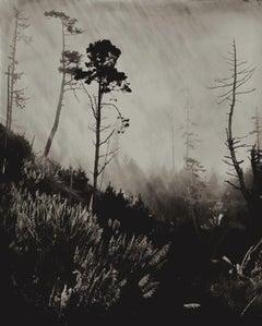 Trees Near Gualala, California 2011