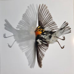 """""""Blackburnian Warbler"""" Close up photograph of bird with its reflection mirrored"""