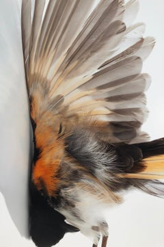 """""""Impact Redstart"""" Close-up photograph of bird after impact with mirrored image"""