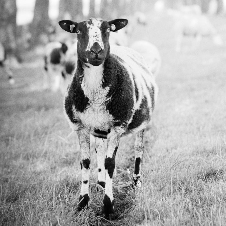 Shaun the Sheep Study #2, Netherlands - Black and White Fine Art Photography - Gray Black and White Photograph by SILVERFINEART