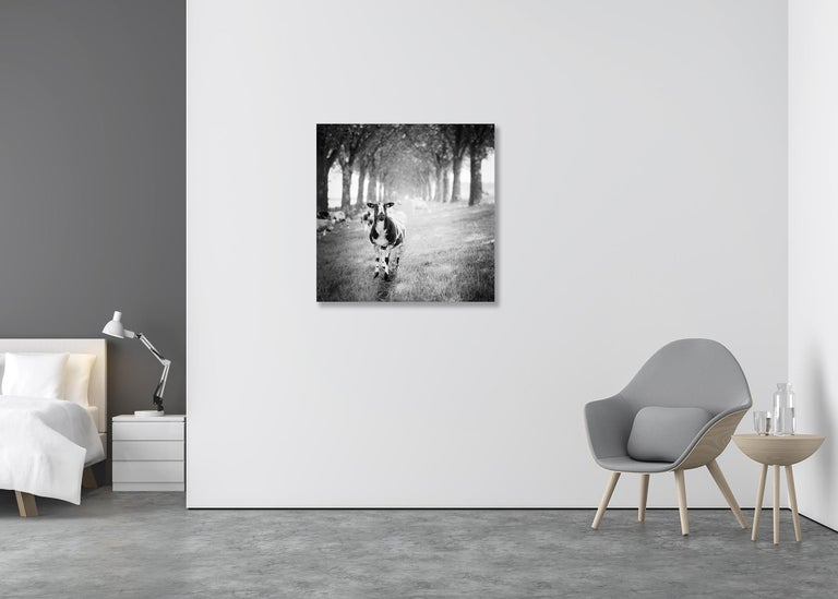 Shaun the Sheep Study #2, Netherlands - Black and White Fine Art Photography For Sale 2