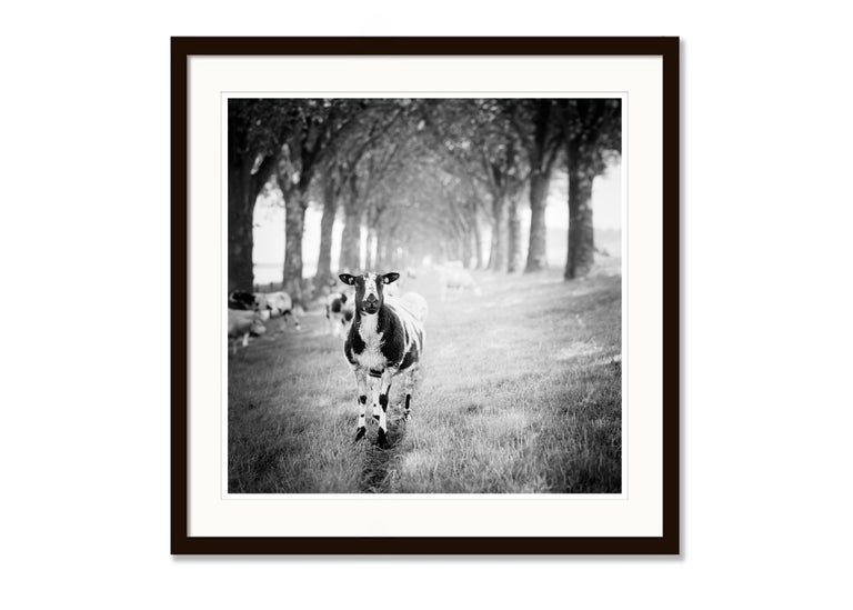 Shaun the Sheep Study 2, Netherlands - Black and White Fine Art Film Photography For Sale 3
