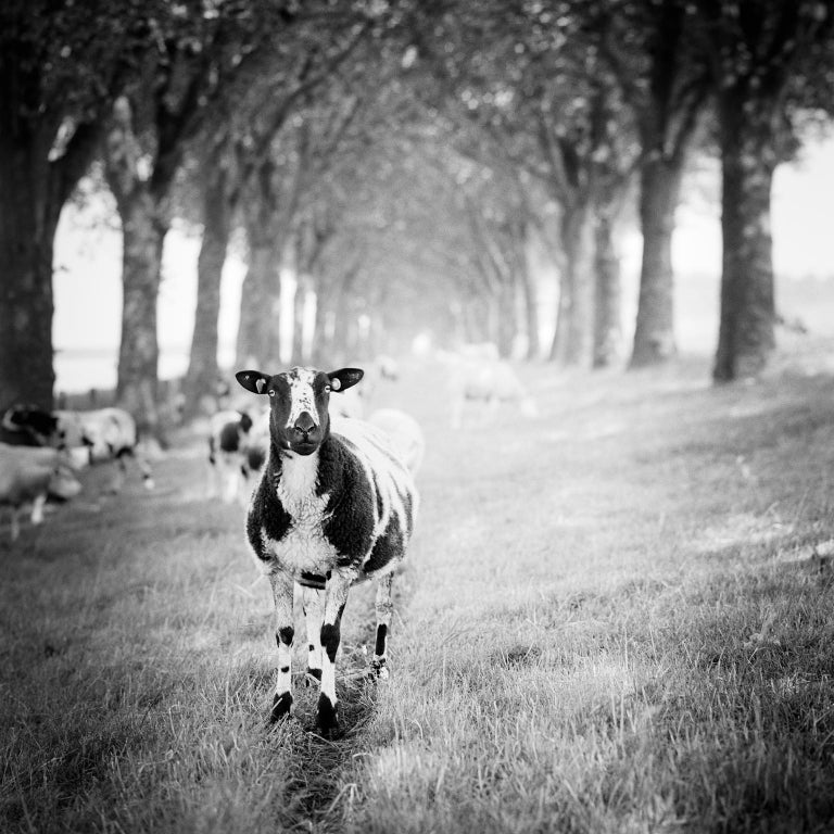 SILVERFINEART  Black and White Photograph - Shaun the Sheep Study 2, Netherlands - Black and White Fine Art Film Photography