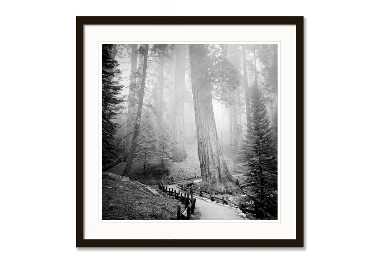 Redwood Study 1, California, USA - Black and White Fine Art Film Photography For Sale 2