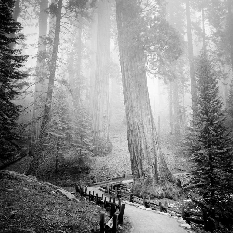 Gerald Berghammer, Ina Forstinger Black and White Photograph - Redwood Study 1, California, USA - Black and White Fine Art Film Photography