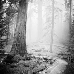 Redwood Study 2, CA, USA 2015 - Black and White Fine Art Landscape Photography