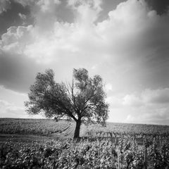 Old Tree at Vineyard, Provence, France, minimalist black and white landscape