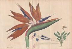 Strelitzia Regina (Bird of Paradise), botanical flower engraving, circa 1800