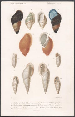 'Mollusques', a series of 3 French Shell Engravings with original colouring 1849