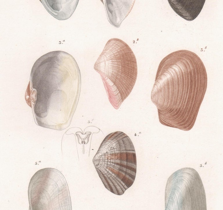 'Mollusques', a French Shell Engraving with original hand-colouring 1849 - Print by After Jean Gabriel Pretre (1768-1849)